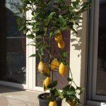 L'orto di ziaTati: un limone bisognoso di cure